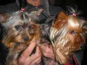Fotos de Yorkshire Terrier hermosos cachorros con papeles