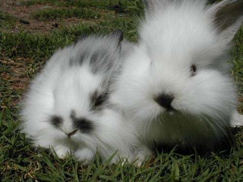 Conejos enanos cabeza de leon venta imagui - Casas para conejos enanos ...