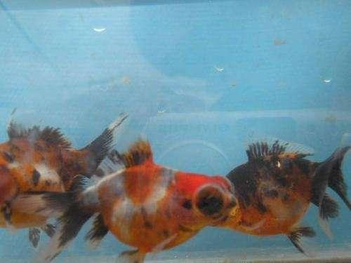 Fotos de peces carassius excelentes vendo santa fe for Vendo peces