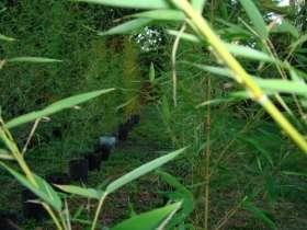 Fotos de Cañas De Bambu Tacuara En Macetas De 5 Litros $ 10,00 C/u