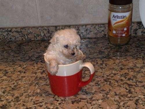 CANICHE MICRO TOYS (TAZITA DE CAFE)