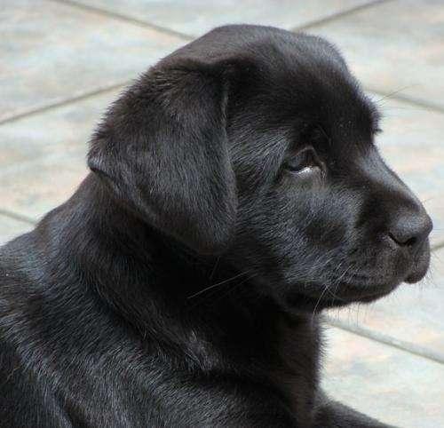 Perros labradores negros bebés - Imagui
