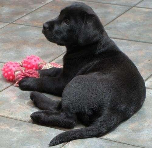 Perro labrador negro bebé - Imagui