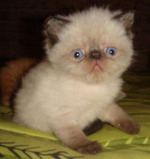 Gatos persas venta - Imagui