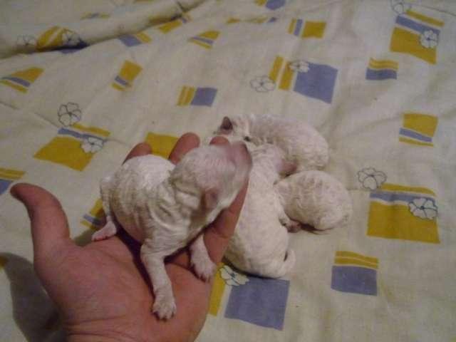 Vendo hembras caniche mini toys blancas