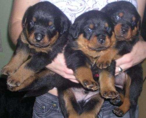 Vendo hermosos cachorros rottweiler