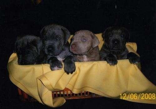 Cachorros mastin napolitano