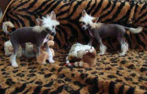 Yorkshire terrier/crestados chinos
