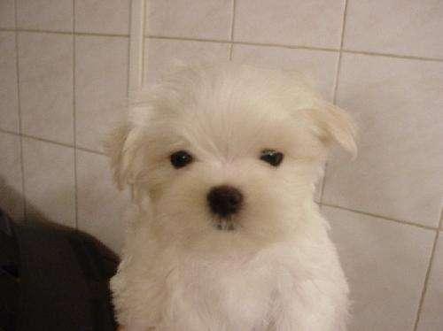 Malteses cachorros excelente pedigree