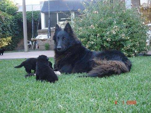 Cachorros pastor belga groenendael
