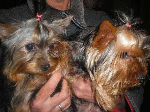 Yorkshire terrier hermosos cachorros con papeles