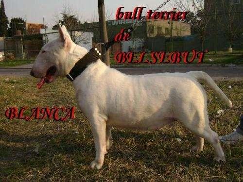Bull terrier de belsebut