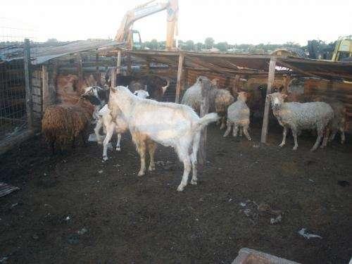 Fotos de Vend. lechones chivitos y corderos 3