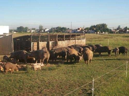 Vend. lechones chivitos y corderos