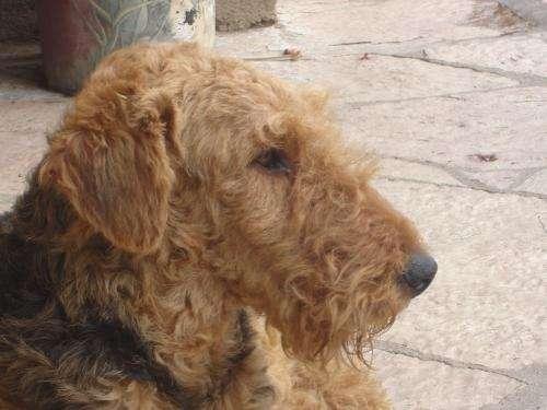 Venta de airedale terriers