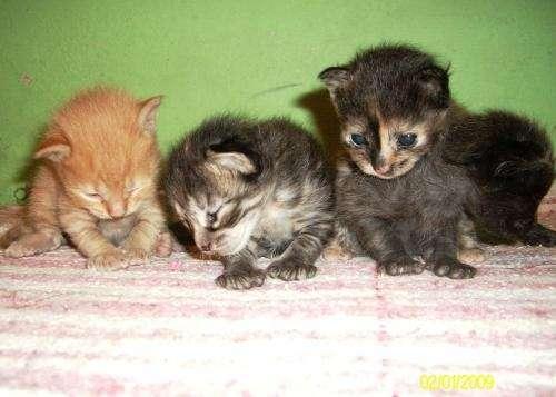 Regalo gatitos mestizos nacidos el 18/12/08