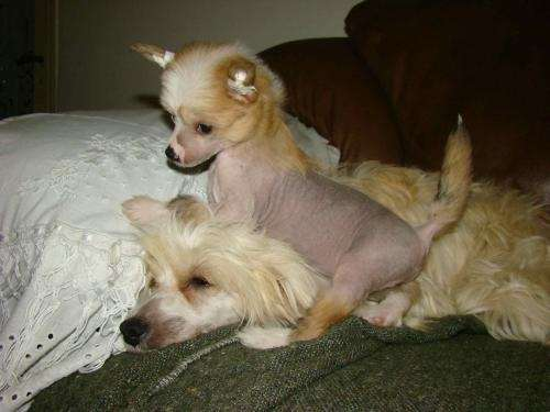 Crestados chinos/ chineses crested dogs