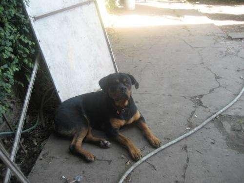 Rottweiler necesita familia adoptiva urgente