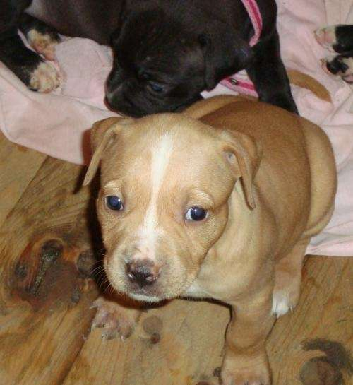 2 cachorros pitbull en venta