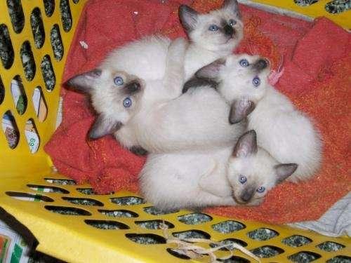 Venta de gatos siameses en cordoba