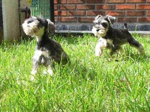 Schnauzer mini hermosos cachorros con papeles