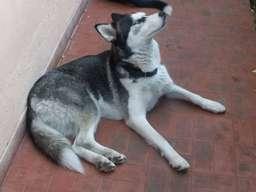 Fotos de Busco el mejor hogar para perra siberiana 3