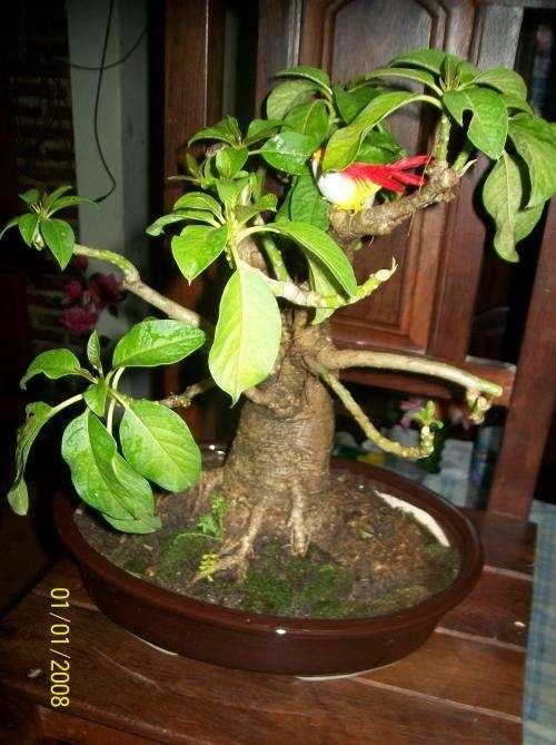 Hermoso bonsai ombu! 20años!no te lo pierdas!