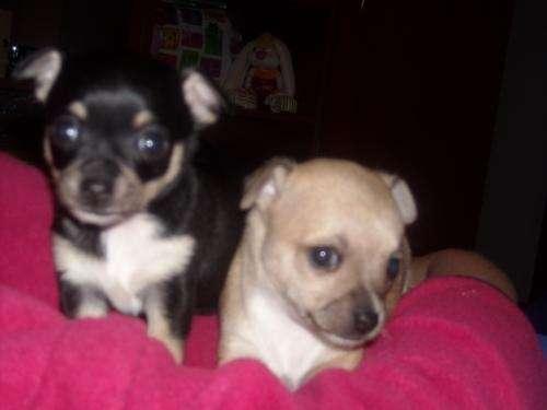 Vendo excelentes cachorros chihuahuas pelo corto mini