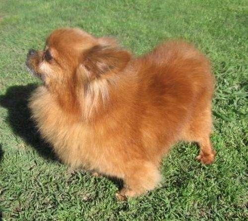 Venta de chihuahua de pelo largo
