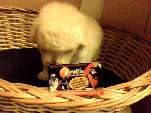 Vendo caniches mini toy - feliz navidad...!