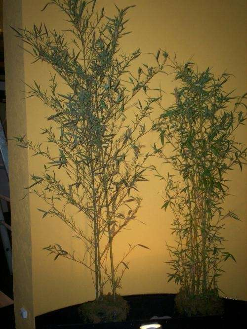 Planta tacuaras