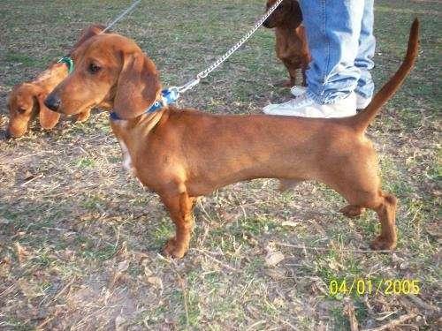 Salchicha dachshund macho rojizo ofrece servicio