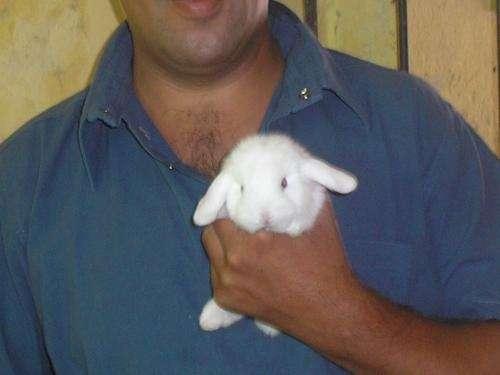 Conejos hollan lop ( orejas caidas)