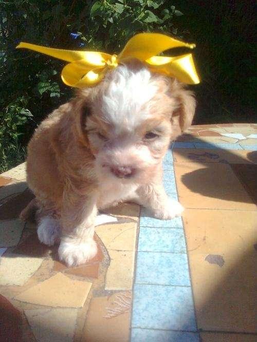 Vendo hermosa caniche mini toy hembra la mejor