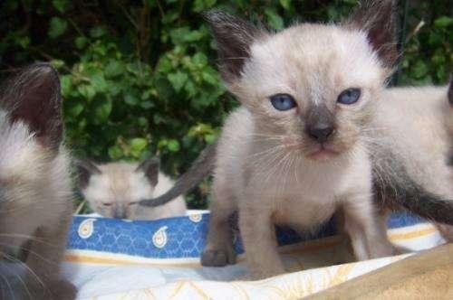 Imperdibles gatitos siaméses