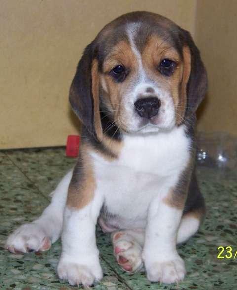 Ultimas beagles hembras!!! 49 dias de vida!!!!!!!