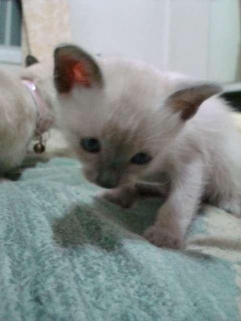Siamesa bebe blue point autentica muñequita!!!