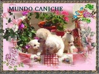 Cachorros de caniche toy en venta 46426528