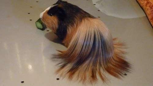 Venta de cobayas de pelo largo