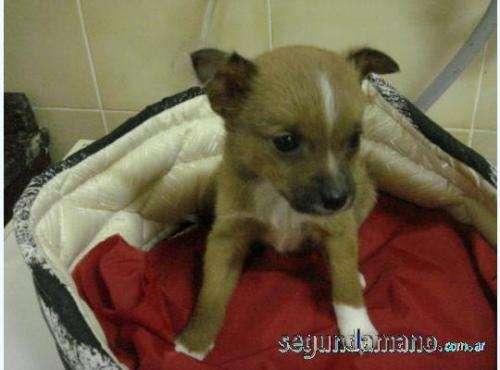 Chihuahua hermosos y mini