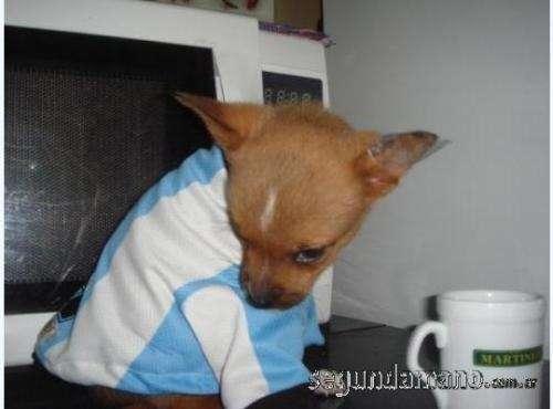 Fotos de Chihuahua hermosos y mini 3