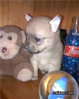 Fotos de Chihuahua hermosos y mini 4