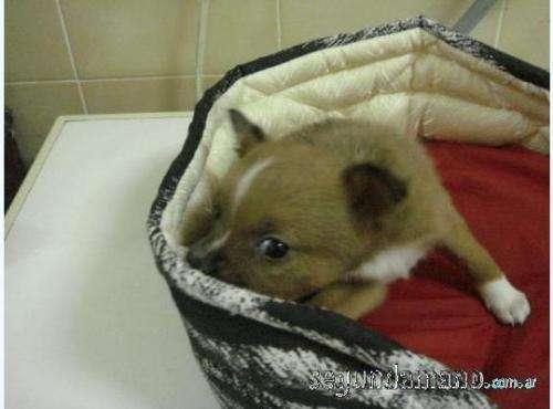 Fotos de Chihuahua hermosos y mini 2
