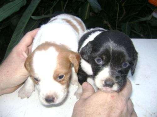 Breton español cachorros puros !! cel 011 15 4537 1641 capital federal