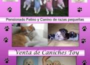 Venta caniches toys (pensionado perros/gatos razas pequeñas)