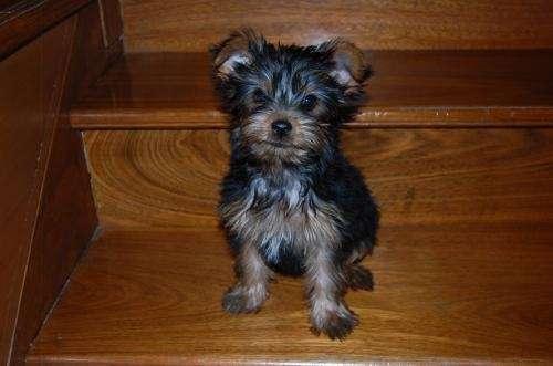 Venta excelentes cachorros yorkshire terrier $ 1150