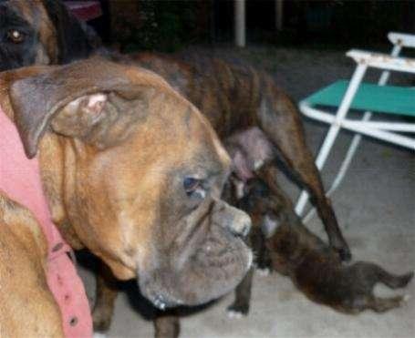 Boxer cachorros sin pedigree machos hembras