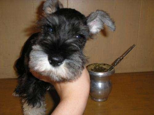Schnauzer miniatura cachorros preciosos
