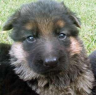 Cachorros ovejero alemán. excelentes pedigree de poa. vac. despar.