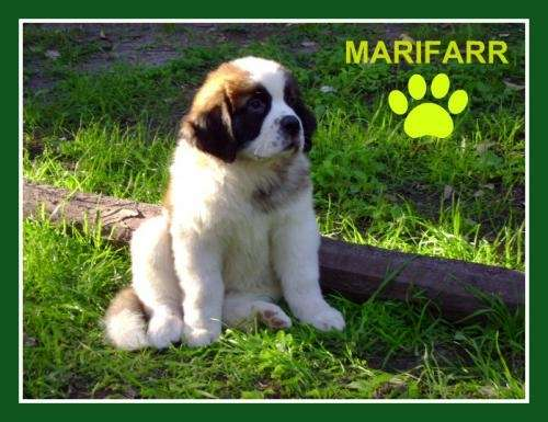San bernardo los mas lindos, cachorros con excelente pedigree